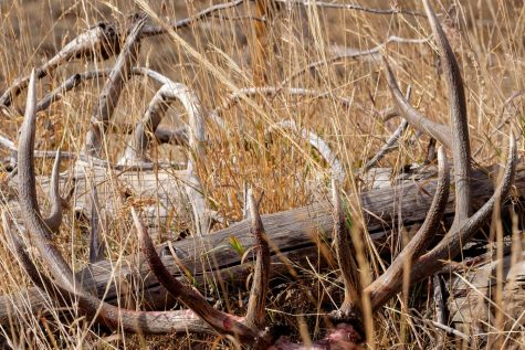 RACKED UP:  Horns like these taken by Kysen Hebdon motivate many to get up early, hike high, and look for elk.