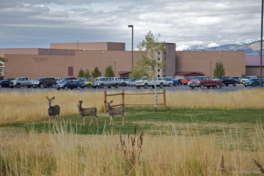 OPEN RANGE: The high school parking lot is home to all kinds of animals.